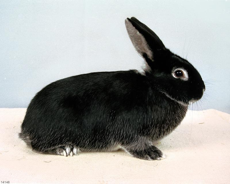 Afbeeldingsresultaat voor zilvervos konijn